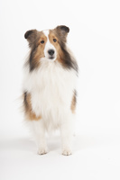 シェットランドシープドッグの成犬