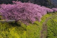 静岡県 南伊豆 みなみの桜並木