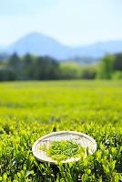 静岡県 一番茶の茶葉と茶畑