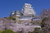 兵庫県 サクラ咲く姫路城天守閣
