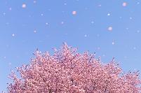 北海道 エゾヤマザクラの花吹雪