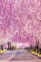 日本 福島県 日中線記念自転車歩行者道のしだれ桜