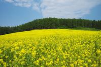 北海道 ぶどうヶ丘公園 菜の花