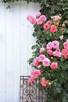 白い壁と満開のバラ