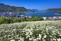 広島県 因島 除虫菊と重井西港