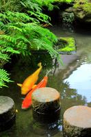 武家屋敷跡 野村家の池と鯉