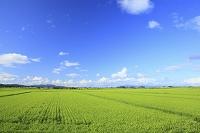 青森県 稲田と雲