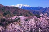 長野県 南アルプス 桜