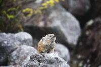 北海道 鳴きウサギ
