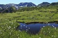 富山県 高層湿原とワタスゲ