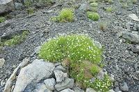 静岡県 聖岳 イワツメクサの花