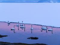 北海道 白鳥 夕暮れ 屈斜路湖 阿寒摩周国立公園
