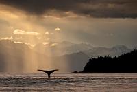 アラスカ リン運河 ザトウクジラ