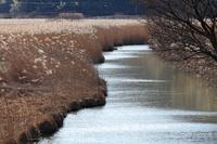 滋賀県 西の湖 水郷 葦