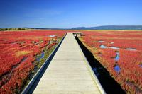 北海道 能取湖のサンゴ草
