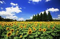 千葉県 あけぼの山農業公園 ヒマワリ畑と白い雲