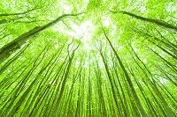 青森県 早春のブナ林