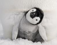 親の足元に隠れる皇帝ペンギンの赤ちゃん