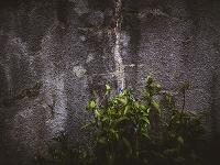 朽ちた壁とツユクサ