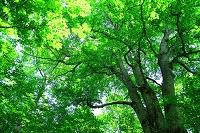 青森県 十和田市 日本一巨木ブナ