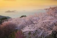 桜咲く紫雲出山と瀬戸内海夕景