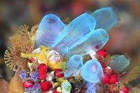バリ島 カラフルな海中のイメージ ホヤ