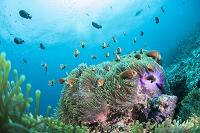 モルディブ 海中風景 モルディブアネモネフィッシュ