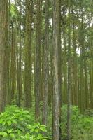 静岡県 富士山の裾野のヒノキ林