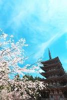 京都府 醍醐寺 枝垂桜と五重塔