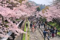 京都府 蹴上インクラインの桜並木と観光客