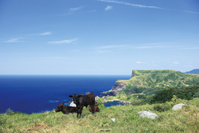 島根県 国賀海岸 赤尾展望所からの眺望と牛