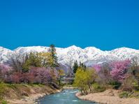 長野県 白馬村 姫川と大出の吊橋 桜と白馬連山