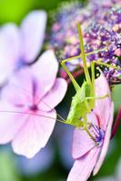 神奈川県 ウマオイと紫陽花