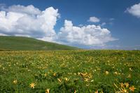 長野県 ニッコウキスゲの花