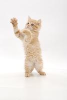 立ち上がって手を伸ばす子猫