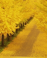 福島県 イチョウ並木黄葉