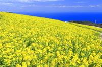 日本 兵庫県 菜の花の咲くあわじ花さじき
