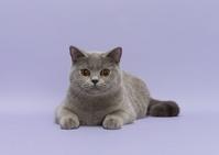 ブリティッシュショートヘア 猫