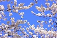 青空と桜の花