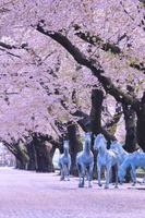 青森県 十和田市官公庁街通りの桜