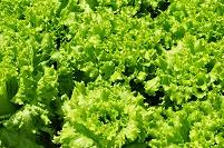 野菜・レタスの露地栽培