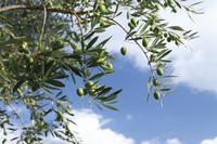 香川県 小豆島オリーブ公園のオリーブの木