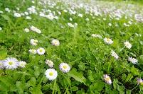 デージー群れる草原