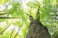 青森県 トチの大樹と木漏れ日