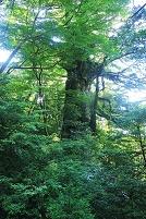 鹿児島県 屋久島の大王杉
