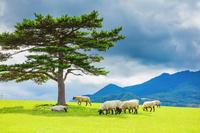 栃木県 のんびり草を食む羊 サフォーク