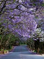 南アフリカ共和国  ヨハネスブルグ ジャカランダ