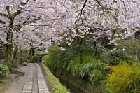 京都府 京都市 桜 哲学の道