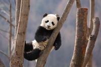 木登りの子パンダ 中国パンダ保護研究センター