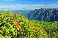 長野県 仙丈岳登山道から朝の鋸岳 ナナカマドとハイマツ